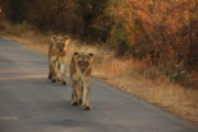 Game viewing Kruger National Park